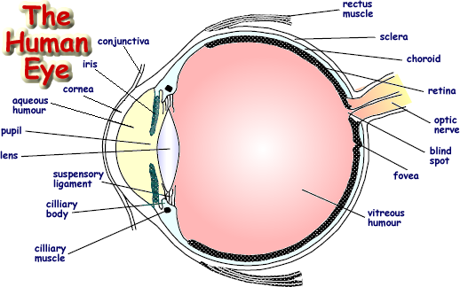 Cow Eye Diagram Label