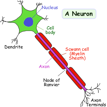 A cyberphysics page a neuron also known as a neurone or nerve cell is an electrically excitable cell that processes and transmits information by electrical and chemical ccuart Choice Image